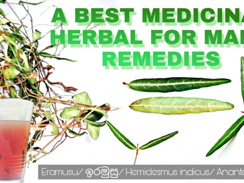 Best Herbal for many remedies – Eramusu-Hemidesmus indicus-Anantamoola