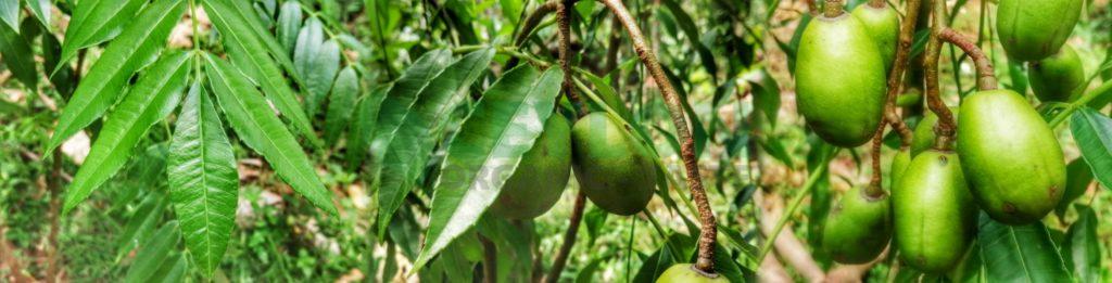 10 Benefits of Spondias dulcis Ambarella – Medicinal Fruit ceylon organic taste a