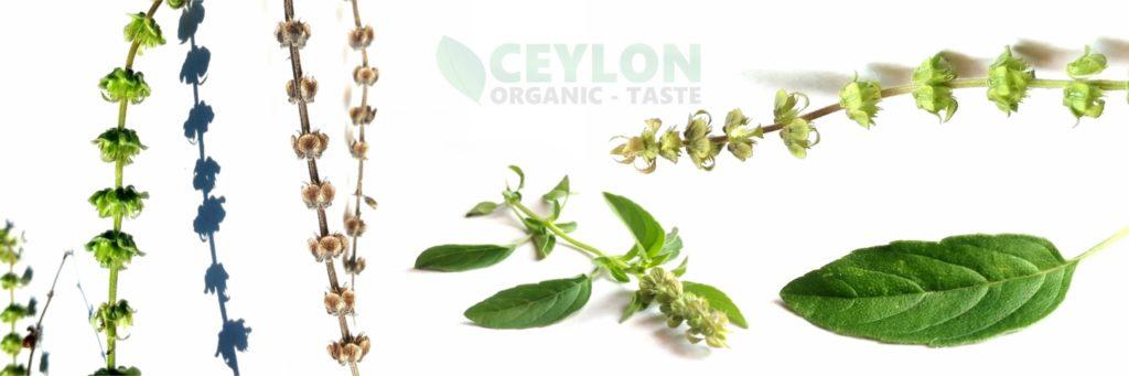 Holy Basil miracle herbal for many ailments Ocimum tenuiflorum Ceylon organic taste D