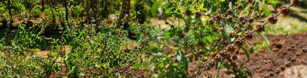 Holy Basil miracle herbal for many ailments Ocimum tenuiflorum Ceylon organic tasteA