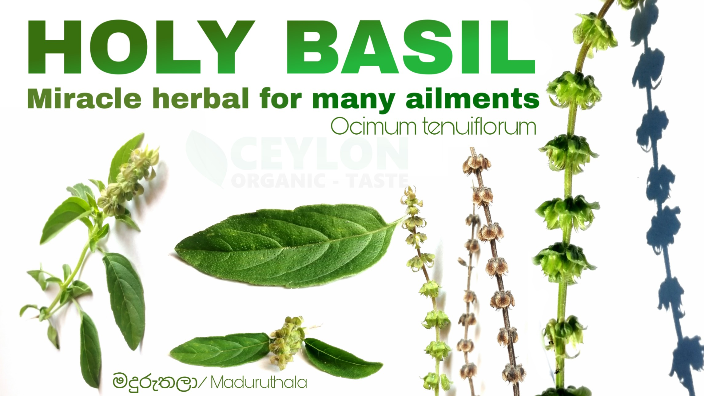 Holy Basil – Miracle herbal for many ailments