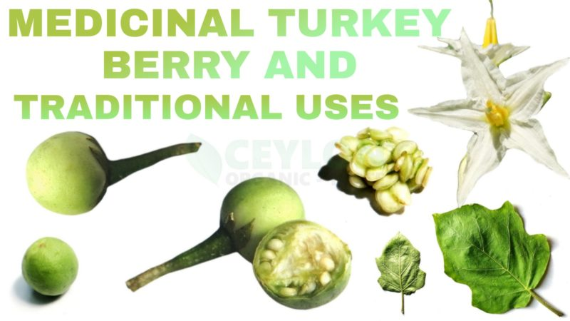 Medicinal Turkey Berry and Traditional Uses