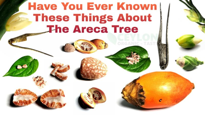 Have you ever known these things about the Areca Tree